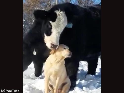 ワンコのことが大好きな牛00