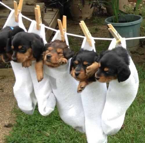 洗濯物として干された子犬たち08