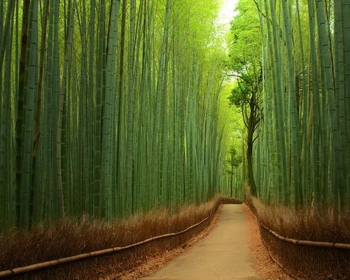 嵐山の竹林01