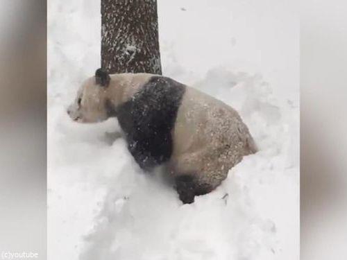 スミソニアン動物園のパンダ01