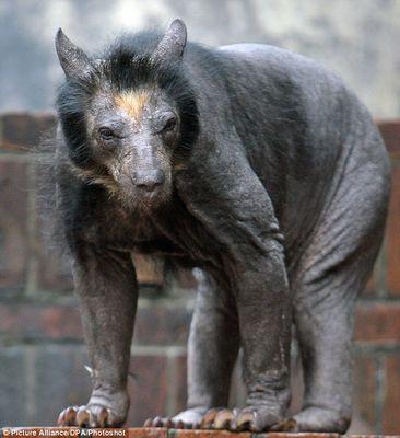 毛が抜けてしまったクマの衝撃 ...