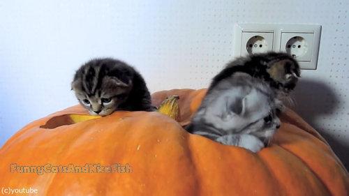 かぼちゃが猫ホイホイ02