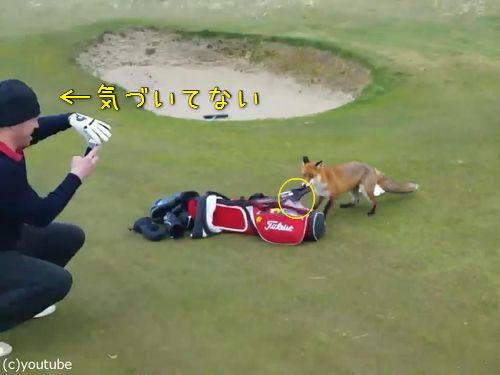 ゴルファーの財布を盗むキツネ00