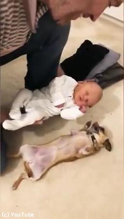 妊婦を守ってきたチワワが赤ちゃんと初対面04
