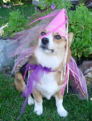 コーギー犬コスプレ07