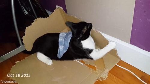 ダンボールをぼこぼこに粉砕する猫04