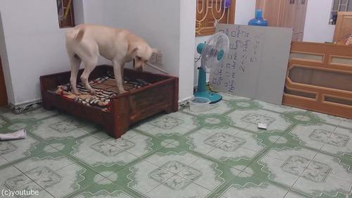 子犬をしかろうとしたら、親犬が守る04