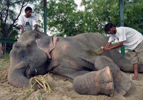 50年間インドで監禁されていたゾウが救出される11