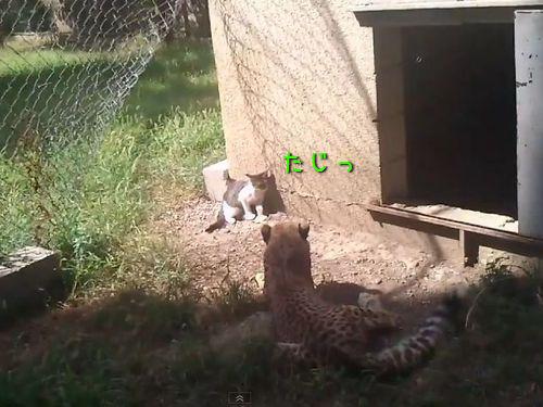 猫とチーター