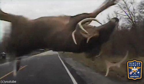 鹿とパトカーが接触事故01
