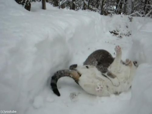 雪遊びが大好きな猫06