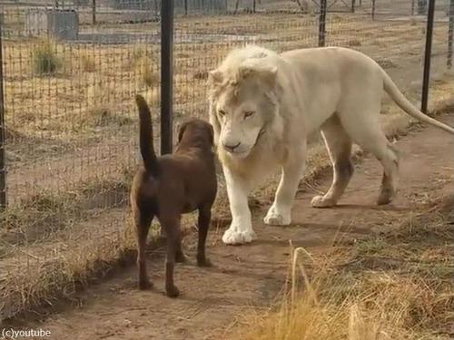 紳士なホワイトライオン02