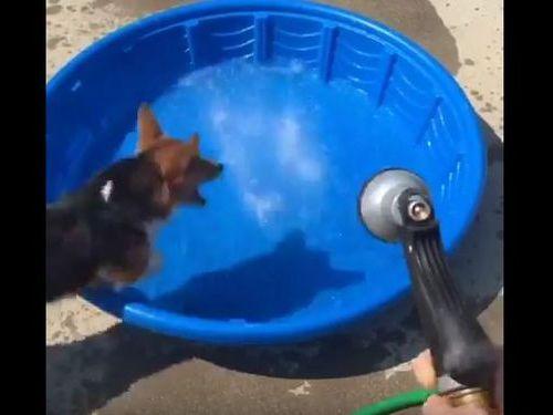 コーギー犬が新しいプールの遊び方05