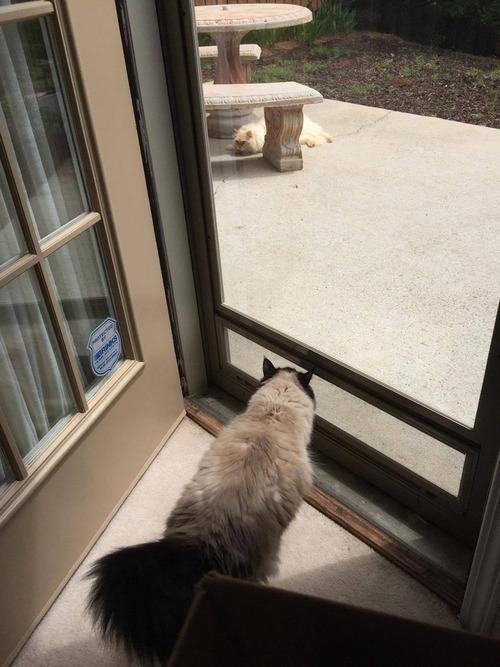 隣人の猫シンバ01