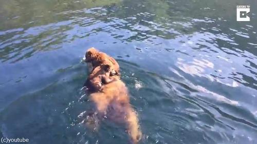 熊ママの泳ぎが想像以上にすごい01