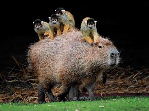 カピバラと他の動物たち15