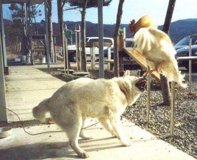 犬がニワトリと本気で戦う04