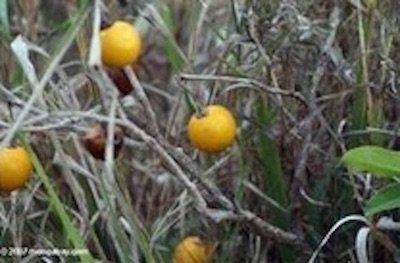 果物がどれだけ品種改良されたのか05