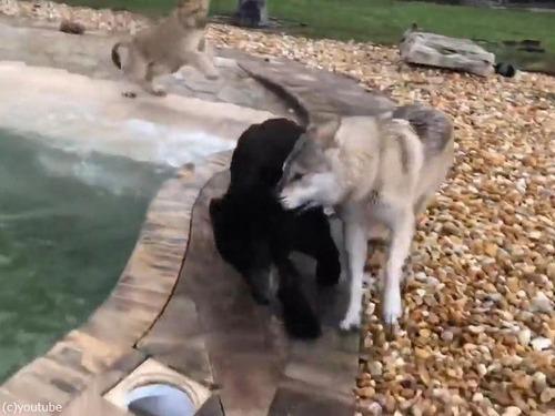オオカミ、ライオン、クマのじゃれ合い03