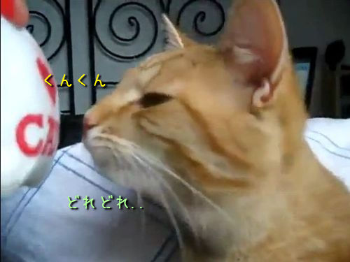 においを嗅ぐ猫00