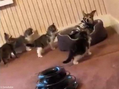 子猫たちにジワジワ囲まれて…圧倒される犬00