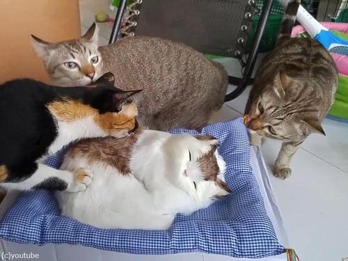猫のおもちゃにびっくりする猫たち00