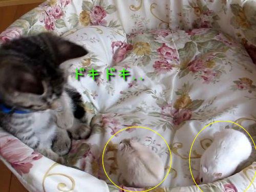 ハムスターから逃げ回る子猫