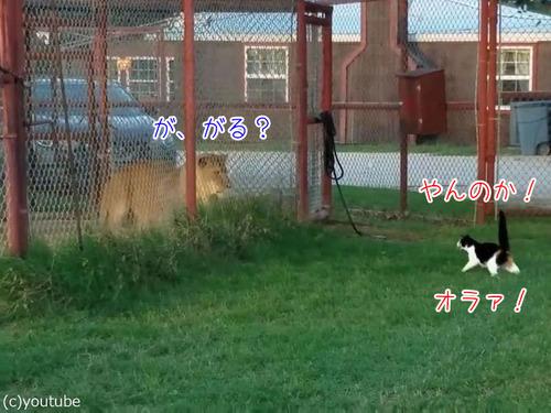 ライオンを挑発する猫00