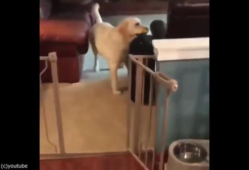飼い主が出かけるのを嫌がる犬03