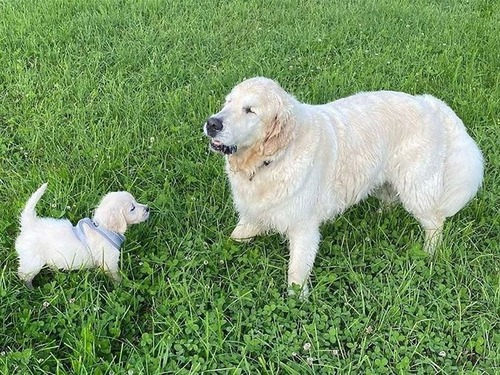 子犬が盲目の犬のためにガイド役になる00
