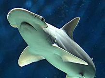 9.ウチワシュモクザメ(Bonnethead shark)