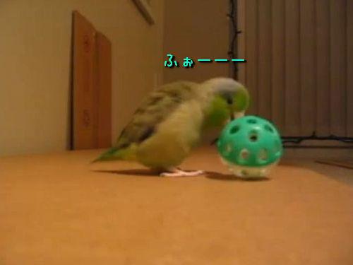 ボールが大好きな小鳥00