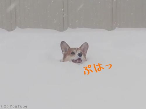 雪遊びコーギー00