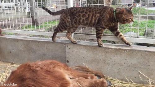 ミニチュアホースに甘える子猫たち06