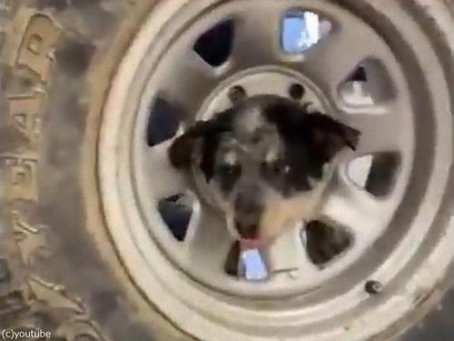 子犬の頭が車のホイールから抜けなくなっちゃった…00