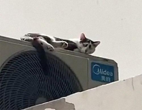 困り顔の猫02
