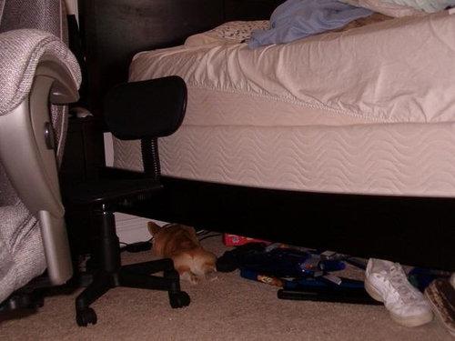 寝てるコーギー犬05
