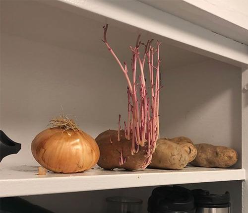 ジャガイモを放置して発芽してしまった例03