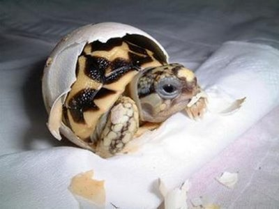 卵からひょっこり顔を出すワニと海ガメの赤ちゃん09
