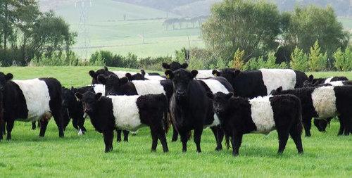 オレオみたいな牛11