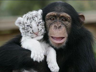 ホワイトタイガーの赤ちゃんとチンパンジーTOP
