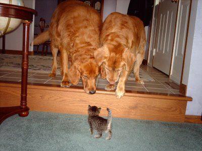 大きな犬2匹と対峙する赤ちゃん子猫
