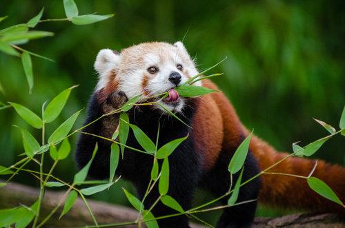 笹を食べるレッサーパンダ06