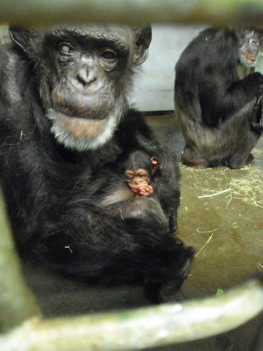 56歳で出産のチンパンジー01