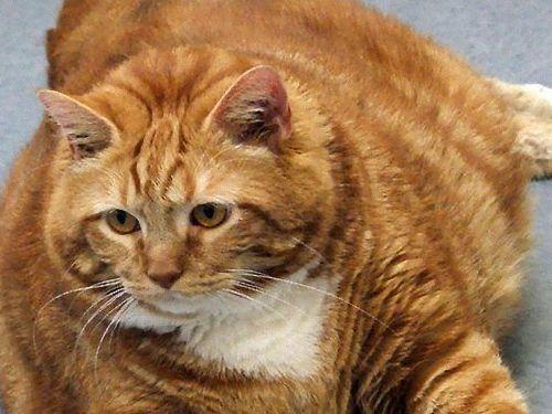 19kgもあるデブ猫が保護00