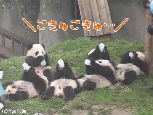 パンダの赤ちゃん00
