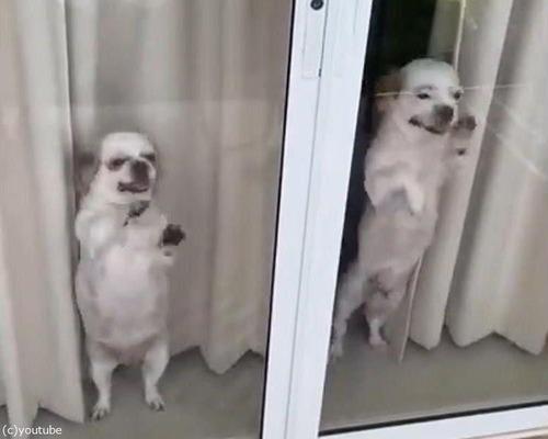 帰宅した飼い主を待ち切れない子犬たち03