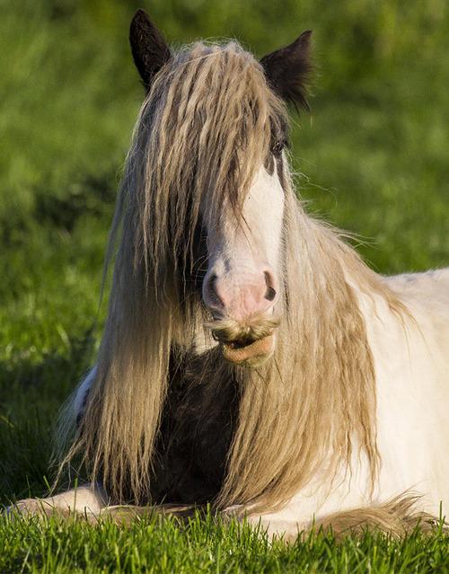 立派な口ヒゲのある馬09
