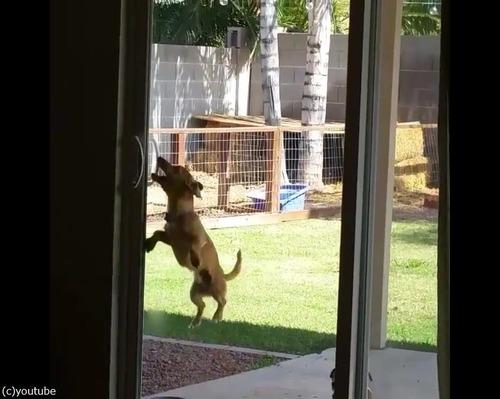 どうにか家に入りたい犬02