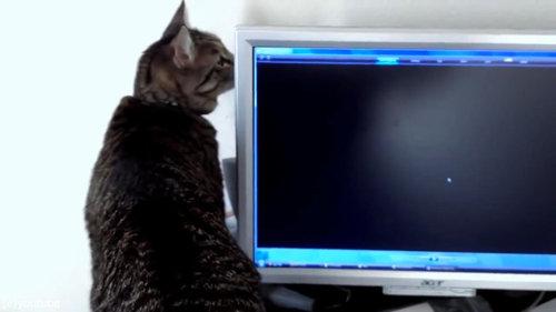 PC画面を見つめる猫07